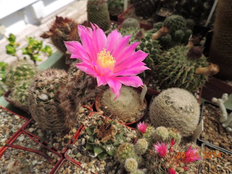 Cacti and Sukkulent in Köln, every day new flowers in the greenhouse Part 92 Bild2780