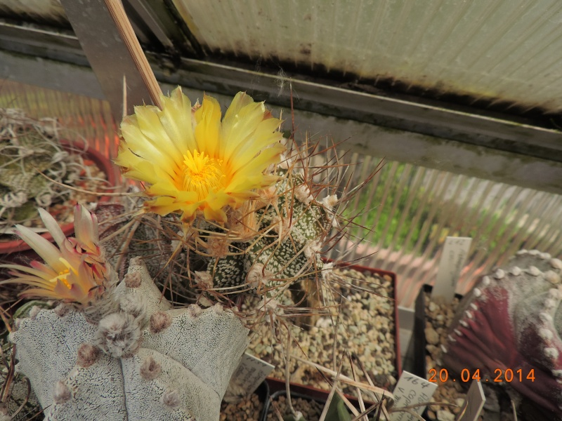 Cacti and Sukkulent in Köln, every day new flowers in the greenhouse Part 92 Bild2782