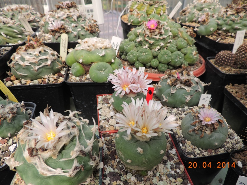 Cacti and Sukkulent in Köln, every day new flowers in the greenhouse Part 92 Bild2787