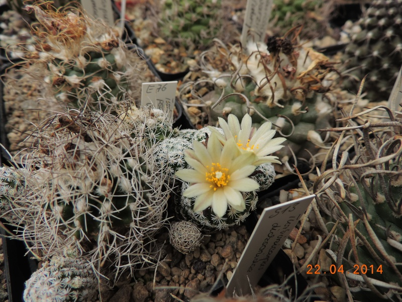 Cacti and Sukkulent in Köln, every day new flowers in the greenhouse Part 92 Bild2797