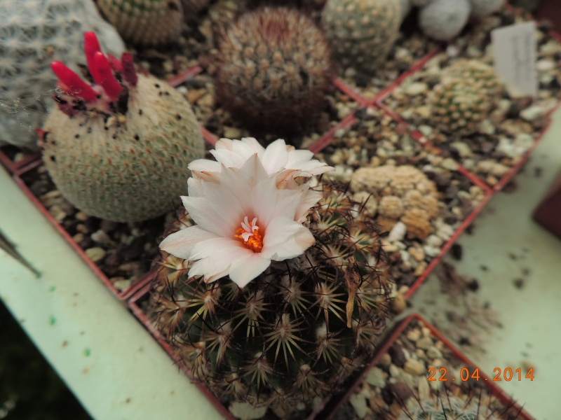 Cacti and Sukkulent in Köln, every day new flowers in the greenhouse Part 92 Bild2798