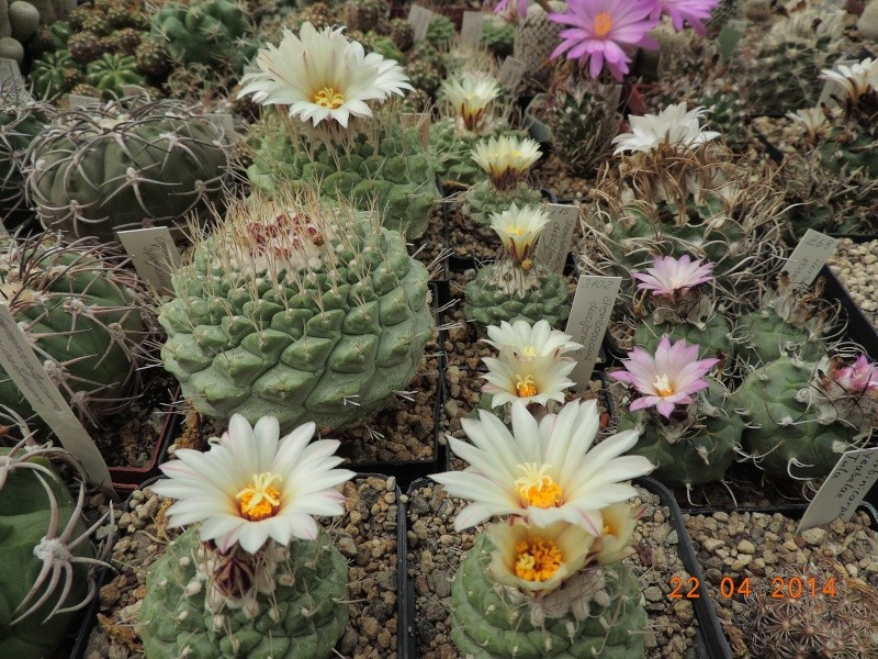 Cacti and Sukkulent in Köln, every day new flowers in the greenhouse Part 92 Bild2800