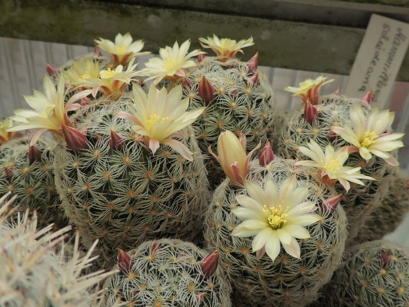Cacti and Sukkulent in Köln, every day new flowers in the greenhouse Part 92 Bild2804
