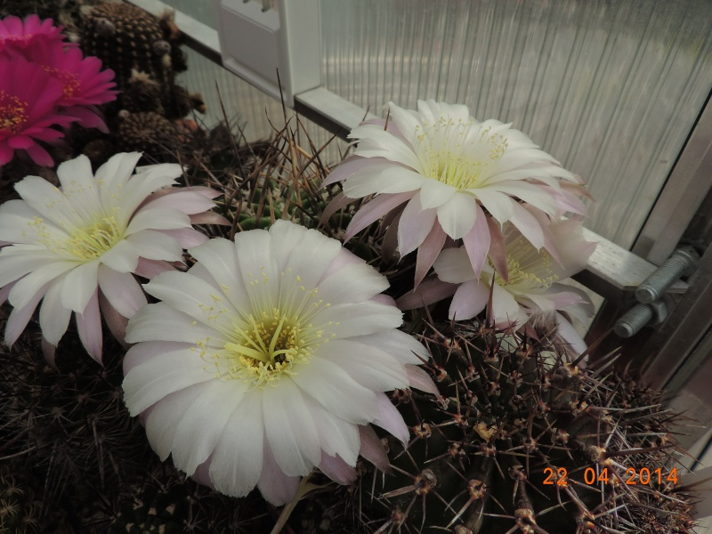Cacti and Sukkulent in Köln, every day new flowers in the greenhouse Part 92 Bild2806