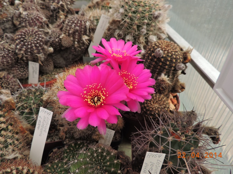 Cacti and Sukkulent in Köln, every day new flowers in the greenhouse Part 92 Bild2808