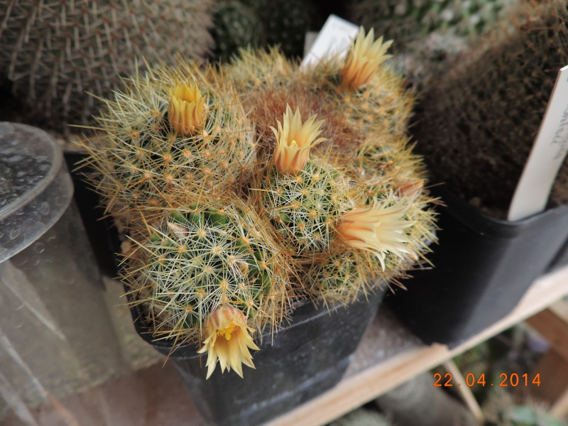 Cacti and Sukkulent in Köln, every day new flowers in the greenhouse Part 92 Bild2811