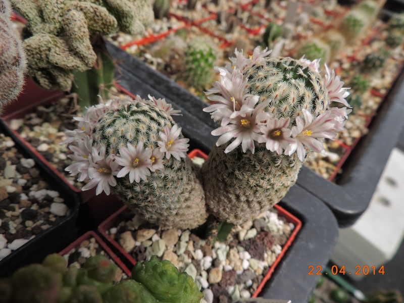 Cacti and Sukkulent in Köln, every day new flowers in the greenhouse Part 92 Bild2819