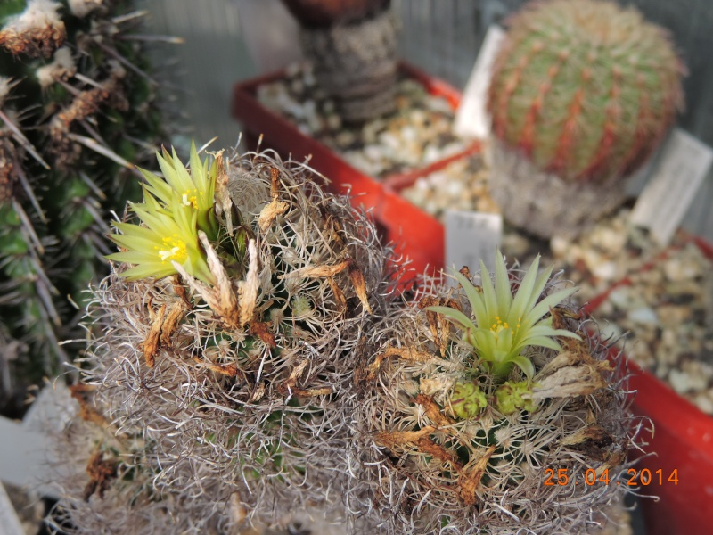 Cacti and Sukkulent in Köln, every day new flowers in the greenhouse Part 93 Bild2843