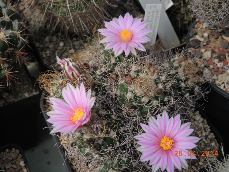 Cacti and Sukkulent in Köln, every day new flowers in the greenhouse Part 93 Bild2844