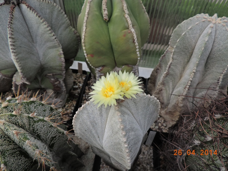 Cacti and Sukkulent in Köln, every day new flowers in the greenhouse Part 93 Bild2850