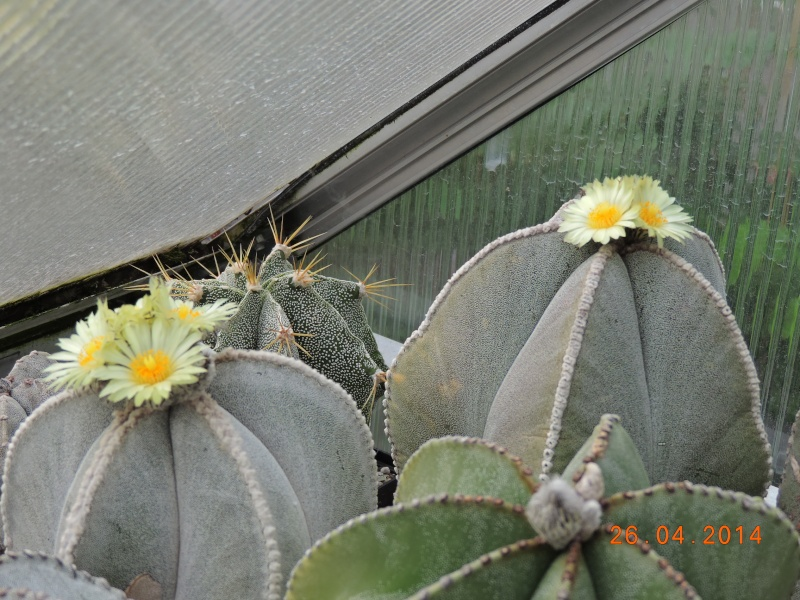 Cacti and Sukkulent in Köln, every day new flowers in the greenhouse Part 93 Bild2851