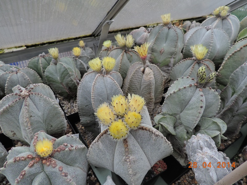 Cacti and Sukkulent in Köln, every day new flowers in the greenhouse Part 93 Bild2871