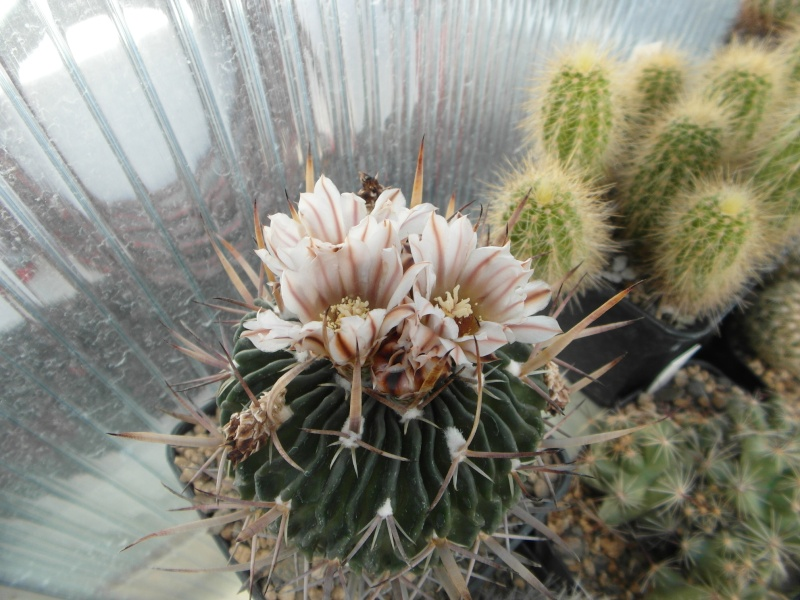 Cacti and Sukkulent in Köln, every day new flowers in the greenhouse Part 93 Bild2902