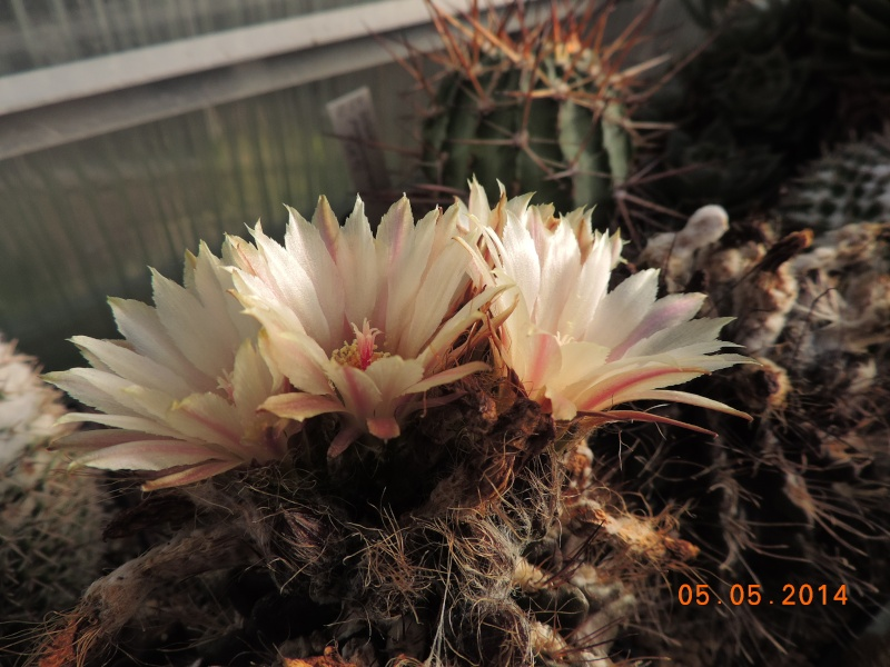 Cacti and Sukkulent in Köln, every day new flowers in the greenhouse Part 94 Bild2933