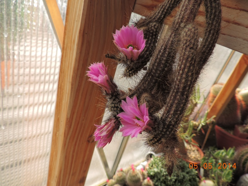 Cacti and Sukkulent in Köln, every day new flowers in the greenhouse Part 94 Bild2934