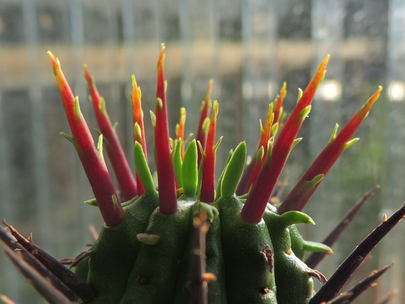 Cacti and Sukkulent in Köln, every day new flowers in the greenhouse Part 94 Bild2940