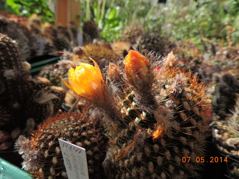 Cacti and Sukkulent in Köln, every day new flowers in the greenhouse Part 94 Bild2945