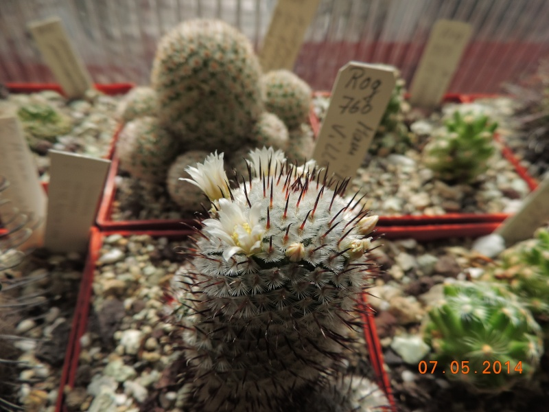 Cacti and Sukkulent in Köln, every day new flowers in the greenhouse Part 94 Bild2946