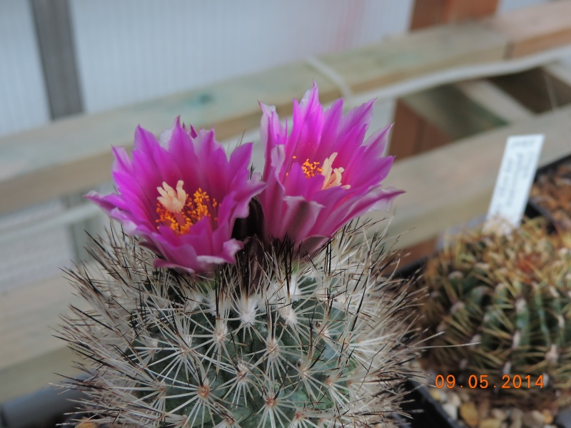 Cacti and Sukkulent in Köln, every day new flowers in the greenhouse Part 94 Bild2954