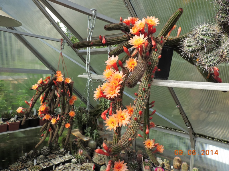 Cacti and Sukkulent in Köln, every day new flowers in the greenhouse Part 94 Bild2966