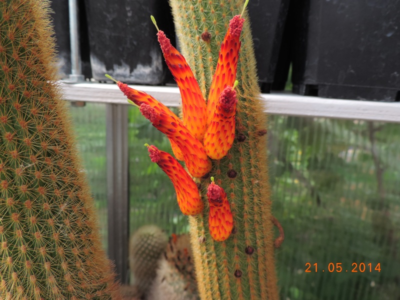 Cacti and Sukkulent in Köln, every day new flowers in the greenhouse Part 94 Bild2970