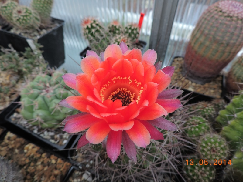 Cacti and Sukkulent in Köln, every day new flowers in the greenhouse Part 94 Bild2984