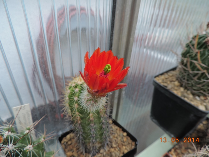Cacti and Sukkulent in Köln, every day new flowers in the greenhouse Part 94 Bild2985