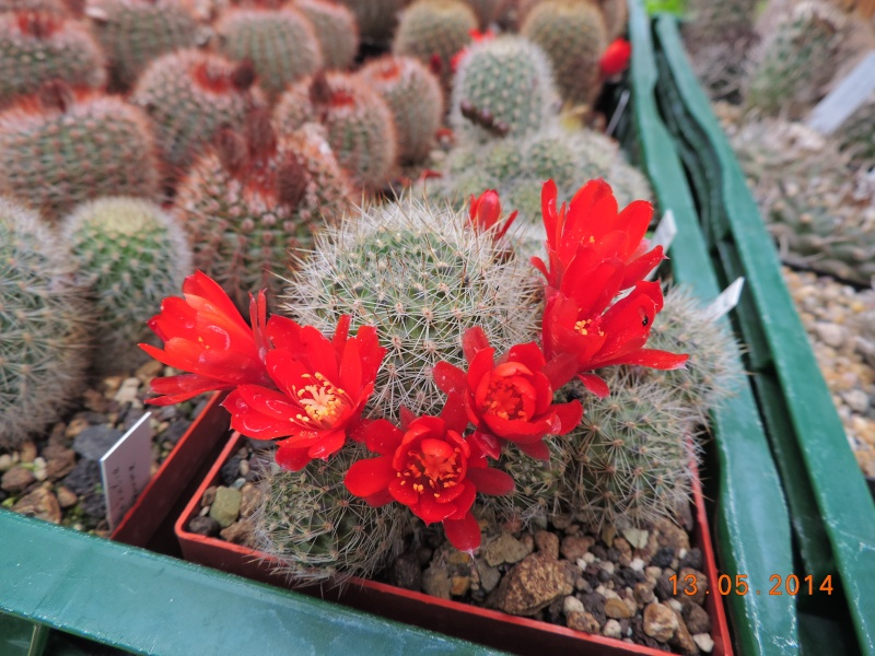 Cacti and Sukkulent in Köln, every day new flowers in the greenhouse Part 94 Bild2987
