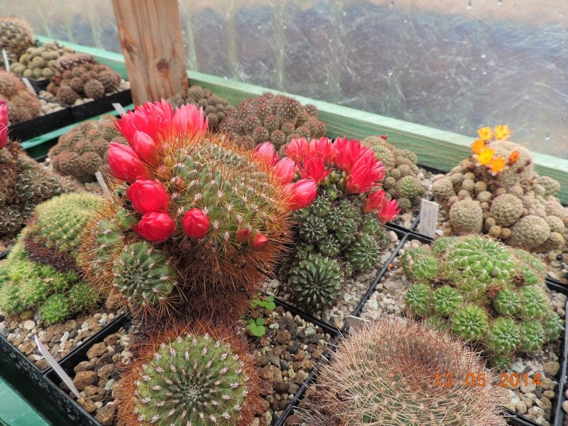 Cacti and Sukkulent in Köln, every day new flowers in the greenhouse Part 94 Bild2990