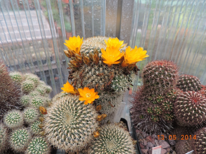 Cacti and Sukkulent in Köln, every day new flowers in the greenhouse Part 94 Bild2993