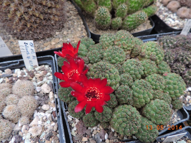 Cacti and Sukkulent in Köln, every day new flowers in the greenhouse Part 94 Bild2994