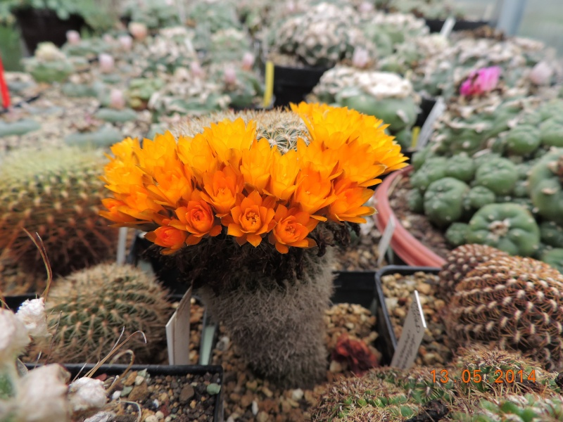Cacti and Sukkulent in Köln, every day new flowers in the greenhouse Part 94 Bild2995