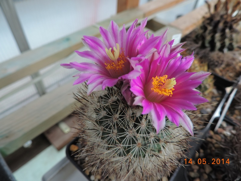 Cacti and Sukkulent in Köln, every day new flowers in the greenhouse Part 95 Bild3007
