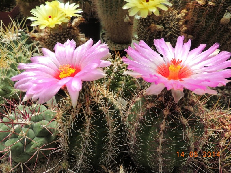 Cacti and Sukkulent in Köln, every day new flowers in the greenhouse Part 95 Bild3013