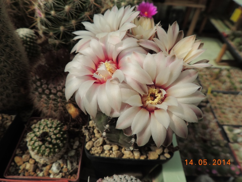 Cacti and Sukkulent in Köln, every day new flowers in the greenhouse Part 95 Bild3016