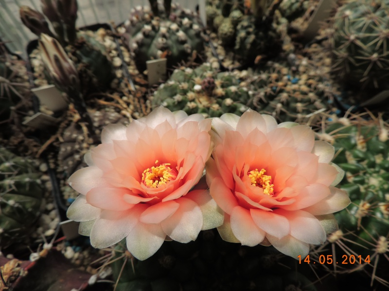 Cacti and Sukkulent in Köln, every day new flowers in the greenhouse Part 95 Bild3017