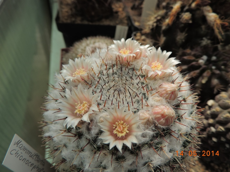 Cacti and Sukkulent in Köln, every day new flowers in the greenhouse Part 95 Bild3018