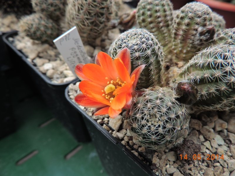 Cacti and Sukkulent in Köln, every day new flowers in the greenhouse Part 95 Bild3023