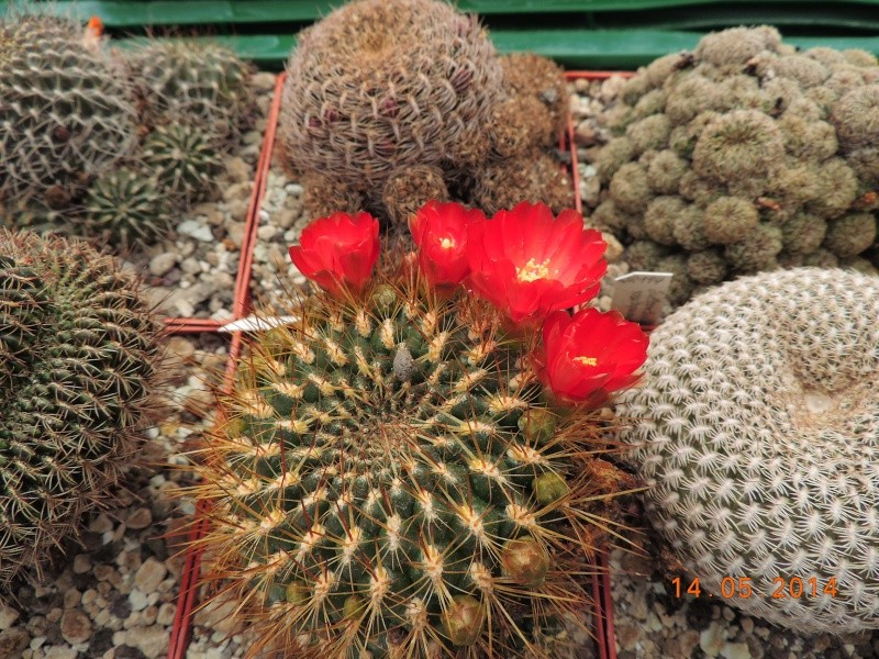 Cacti and Sukkulent in Köln, every day new flowers in the greenhouse Part 95 Bild3025