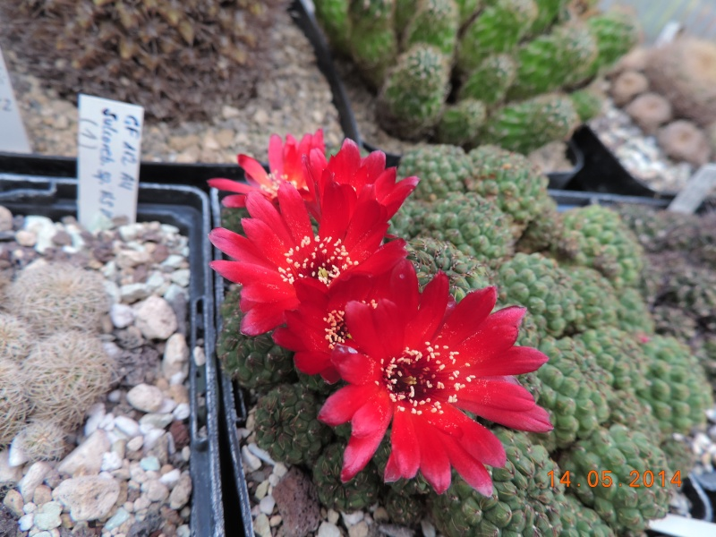 Cacti and Sukkulent in Köln, every day new flowers in the greenhouse Part 95 Bild3030