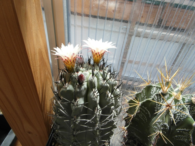 Cacti and Sukkulent in Köln, every day new flowers in the greenhouse Part 66 Bild_109