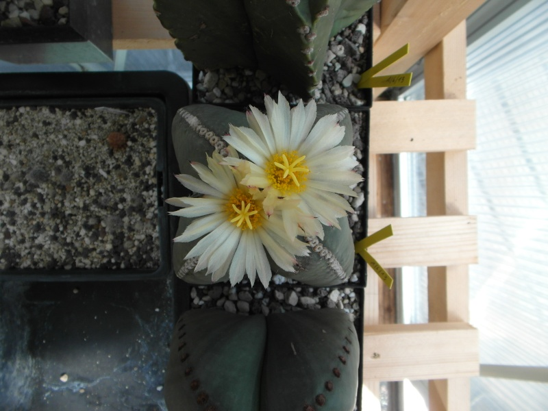 Cacti and Sukkulent in Köln, every day new flowers in the greenhouse Part 66 Bild_115