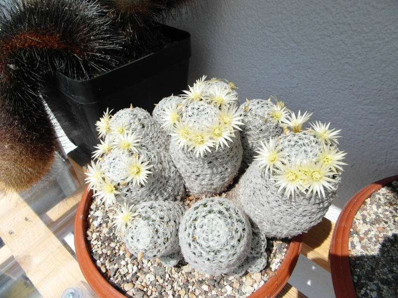 Cacti and Sukkulent in Köln, every day new flowers in the greenhouse Part 66 Bild_116