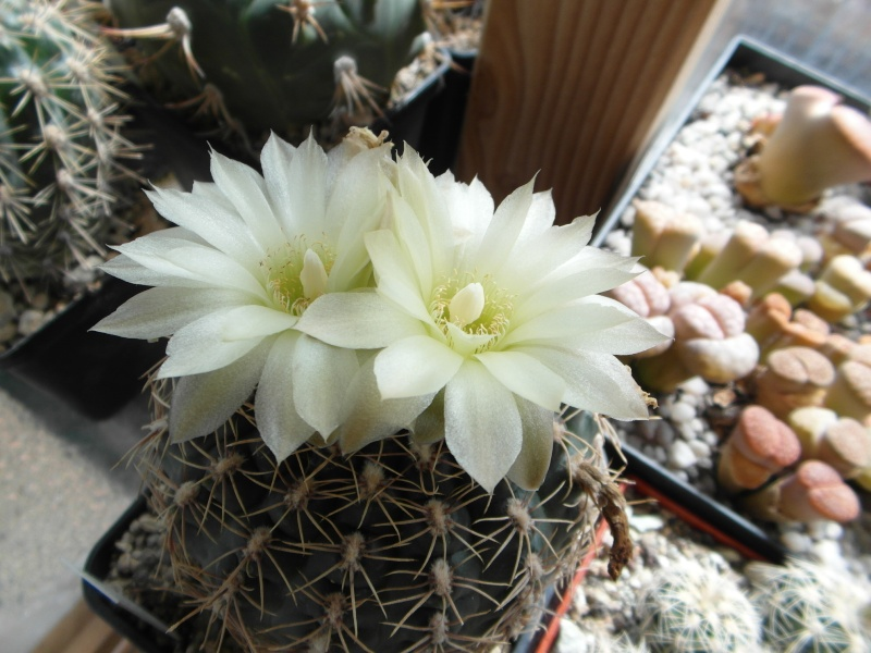 Cacti and Sukkulent in Köln, every day new flowers in the greenhouse Part 66 Bild_125