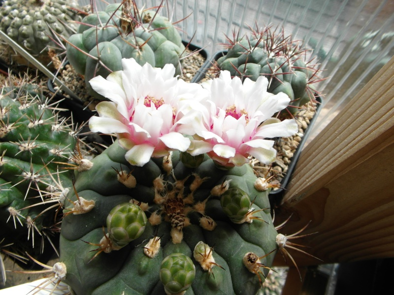 Cacti and Sukkulent in Köln, every day new flowers in the greenhouse Part 66 Bild_126