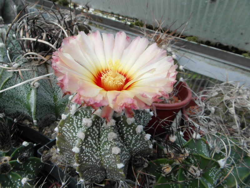Cacti and Sukkulent in Köln, every day new flowers in the greenhouse Part 66 Bild_137