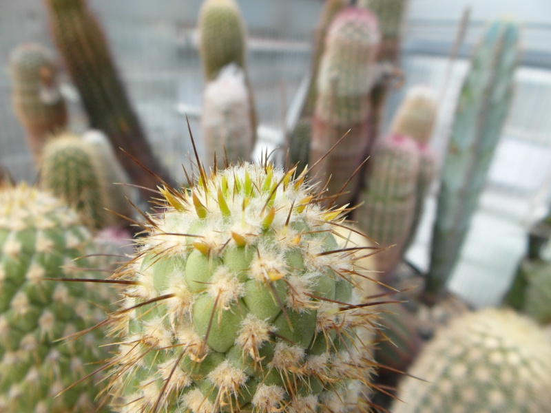 Cacti and Sukkulent in Köln, every day new flowers in the greenhouse Part 66 Bild_153