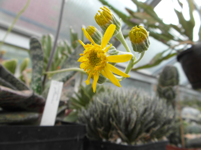 Cacti and Sukkulent in Köln, every day new flowers in the greenhouse Part 66 Bild_166