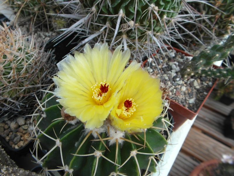 Cacti and Sukkulent in Köln, every day new flowers in the greenhouse Part 66 Bild_169