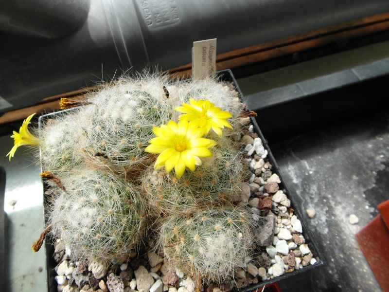 Cacti and Sukkulent in Köln, every day new flowers in the greenhouse Part 67 Bild_212